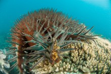 Crown-of-thorns starfish on coral
