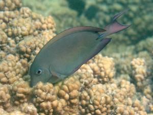 A brown surgeonfish (Acanthurus nigrofuscus)