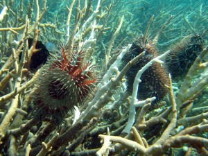 Crown-of-Thorns starfish (COTS) feeding on branching coral