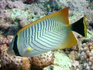 Great Barrier Reef Tropical Fish Yellow Tail Wallpaper Hd ...