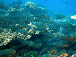 A school of rivulated parrotfish (Scarus rivulatus)