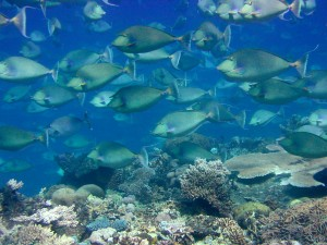 School of unicornfish (Naso unicornis)