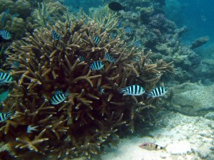 Scissortail sergeant major fish (Abudefduf sexfasciatus)