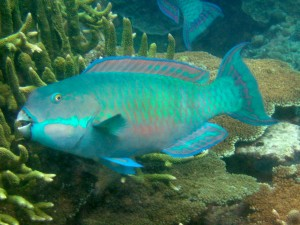Steephead parrotfish (Chlorurus microrhinos)
