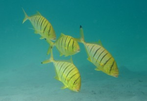 Juvenile golden trevally (Gnathanodon speciosus)