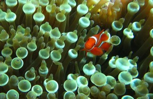 Tomato clownfish (Amphiprion frenatus) inhabiting an anemone