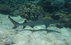 White tip reef shark (Triaenodon obesus)