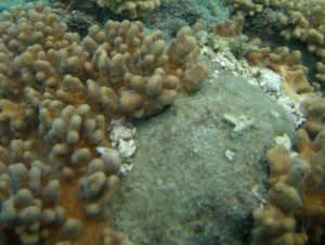 Tearing of octocorals