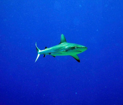 Coral sea, Grey Reef Shark