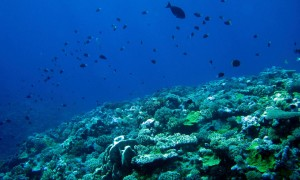 Coral sea, habitat and fish