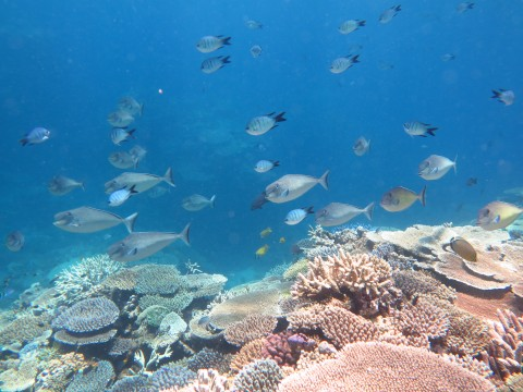 Coral supports high fish diversity on GBR reefs