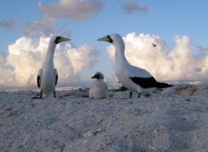 Coral sea. Masked Boobies with chick