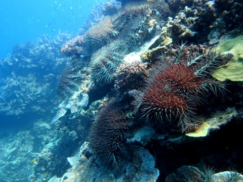 Acanthaster planci, COTS, feeding front