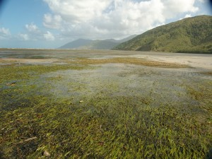 Seagrass meadows on the fringing reef flat at Archer Point