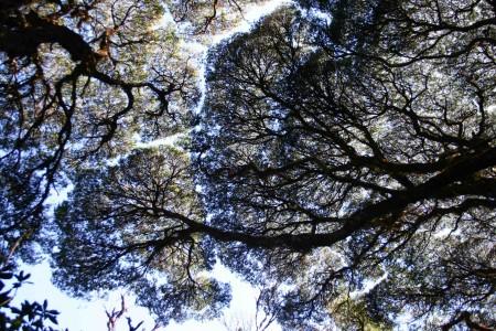 Canopy of Leptospermum wooroonooran trees