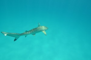 Tagged blacktip reef shark