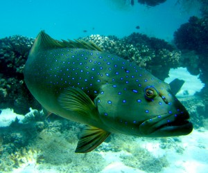 Bar-cheek coral trout