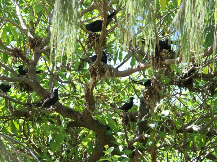 Black noddies in a Pisonia tree at Wilson island