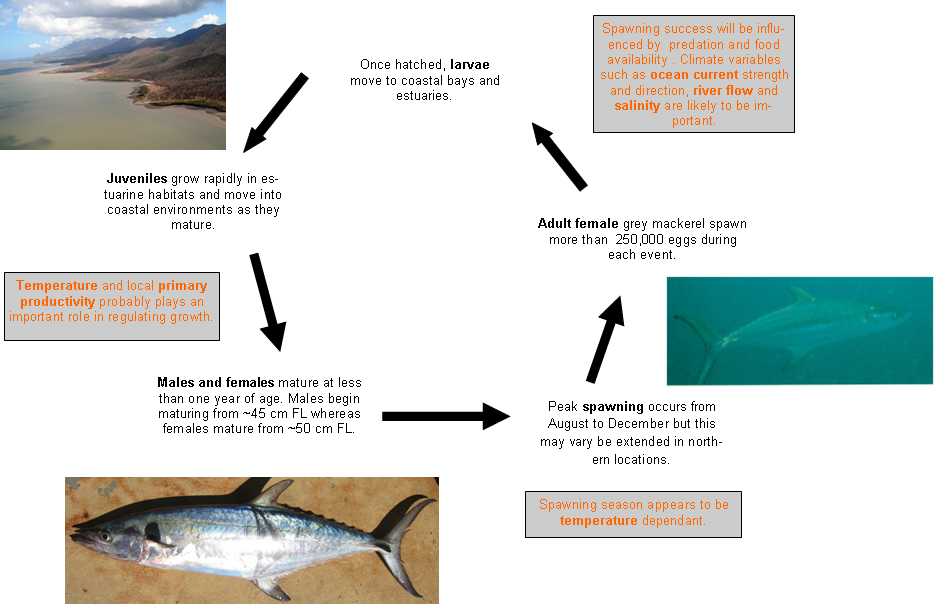 Grey mackerel - life cycle