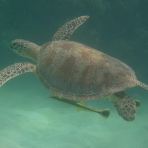 Green sea turtle (Chelonia mydas) swimming with attached remoras (Echeneis naucrates)