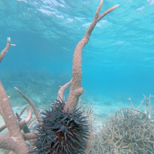 Crown of thorns seastar feeding on branching coral