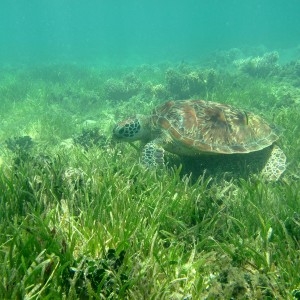 Green turtle feeding on seagrass, Green Island (13 February 2010)