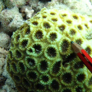 Acanthastrea - Torres Strait Coral Taxonomy Photos
