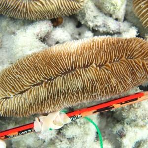 Herpolitha - Torres Strait Coral Taxonomy Photos