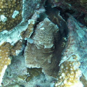 Leptoseris - Torres Strait Coral Taxonomy Photos
