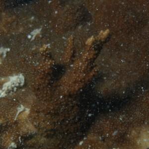 Montipora aequituberculata