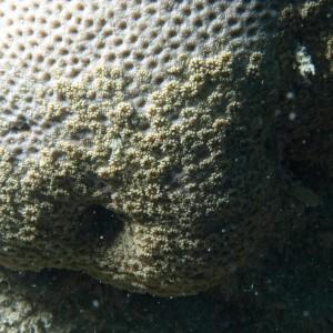 Goniopora tenuidens