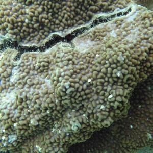 Montipora palawanensis