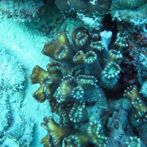 Caulastrea - Torres Strait Coral Taxonomy Photos