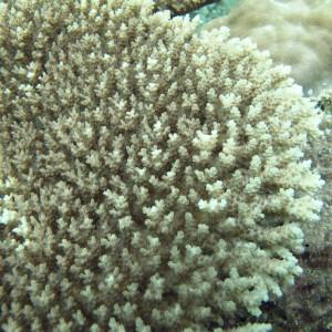 Acropora cytherea