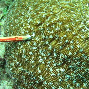Halomitra - Torres Strait Coral Taxonomy Photos