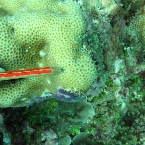 Goniastrea retiformis