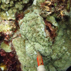 Montipora foveolata