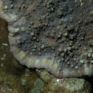 Echinophyllia aspera