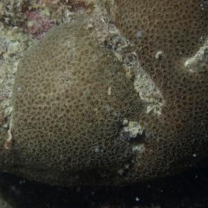 Goniopora eclipsensis
