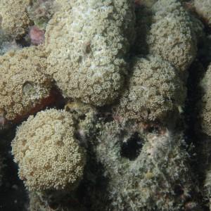 Goniopora minor