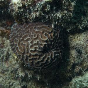 Platygyra daedalea