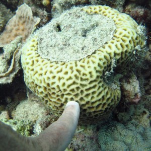 Goniastrea - Torres Strait Coral Taxonomy Photos