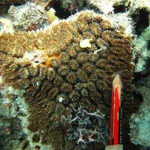 Galaxea - Torres Strait Coral Taxonomy Photos