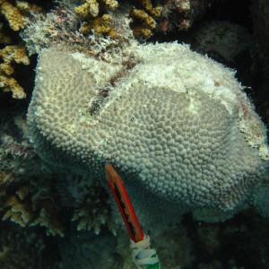 Hydnophora microconos