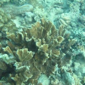 Pectinia - Torres Strait Coral Taxonomy Photos