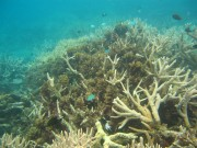 Macroalgae grows profusely amongst the branches of this Acropora sp. coral colony. If conditions shift the competitive balance, macroalgae may outcompete the coral