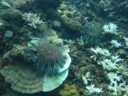 Crown-of-thorns starfish feeding