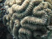 Lobophyllia robusta