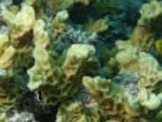 Australogyra zelli