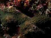 Cyphastrea microphthalma